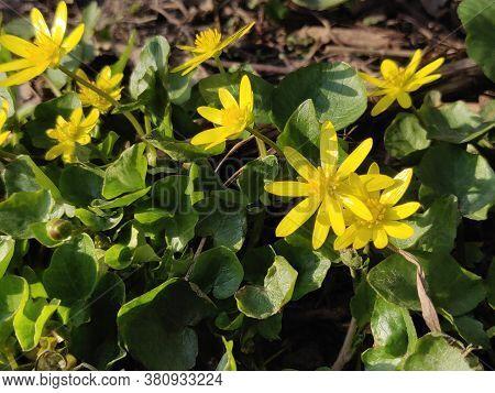 Ranunculus Acris (meadow Buttercup, Tall Buttercup, Common Buttercup, Giant Buttercup) Beautiful Yel
