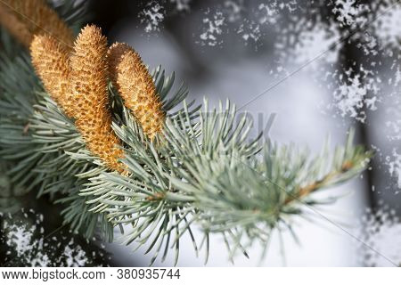 Coniferous Branch With Spruce Cone In Soft Focus