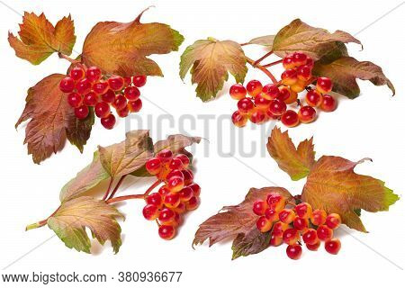 Autumn Branches Of Viburnum On A White Background, Isolate