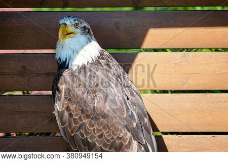 Portrait Of A Bald Eagle, Sometimes Called The American Eagle, The National Bird And National Animal