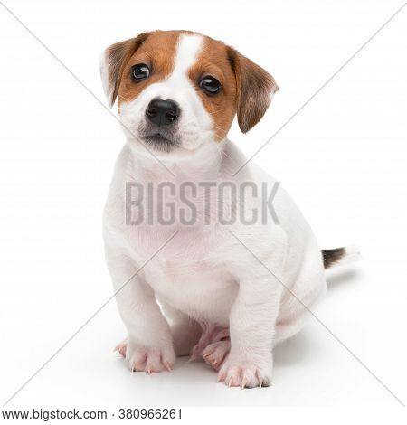 Jack Russell Terrier Puppy Isolated On White Background. Dog Jack Terrier Sitting Front View Studio