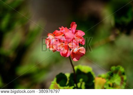 Group Of Vivid Red Pelargonium Flowers, Commonly Known As Geraniums, Pelargoniums Or Storksbills, An