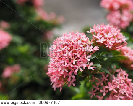 Bush Ixora Chinensis Blooming In Garden On Nature Background, Rubiaceae Pink Flower