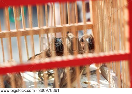 Finch Birds In A Cage - Released For Good Luck At A Thai Temple