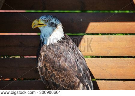 Side View Of A Bald Eagle, Sometimes Called The American Eagle, The National Bird And National Anima