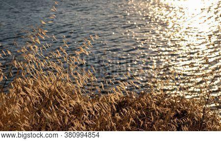 Golden Dry Oats, Over Bokeh, Blur Kea, Tzia Island Sea Background.