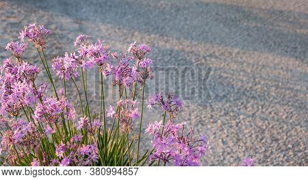 Pink Purple Wildflowers At Tzia, Kea Island, Greece. Blur Road Background, Space.