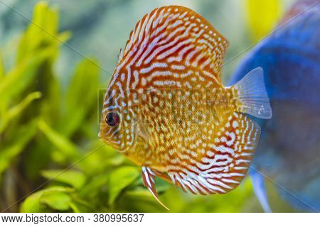 Close Up View Of Gorgeous Checkerboard Pigeon Blood Discus Aquarium Fish. Hobby Concept.