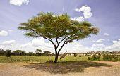 Masai giraffes as the move on the Serengeti Savannah, Tanzania. poster