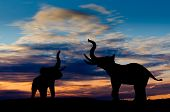 Two elephant silhouettes trumpeting in the sunset with cloudy sky poster