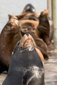 close-up photo of   sea lions poster