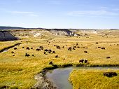 Buffalo graze at Oxbow Bend in wilderness poster