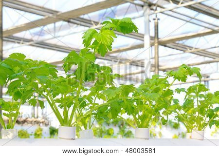 Soilless Cultivation Of Celery In A Botanical Garden