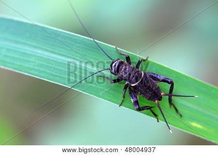 Cricket Nymphs