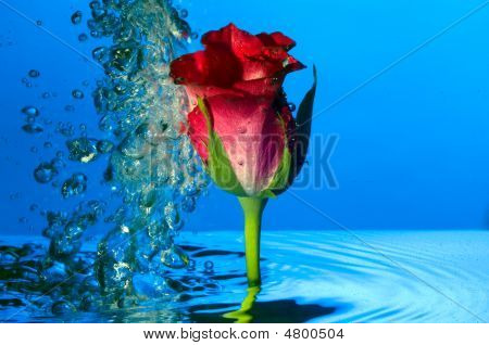 A Red Rose Under Water