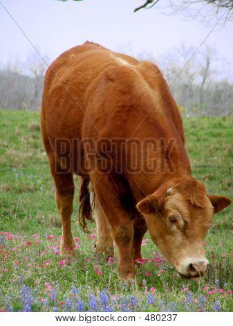Cow Grazing In Field Of Wildflowers