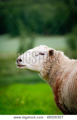 Sheep On Green