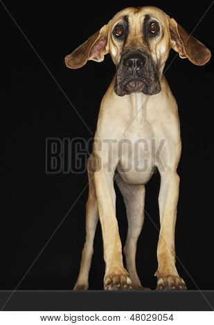 Great Dane standing with ears extended against black background