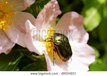 Protaetia Fieberi Specie Of Beetle