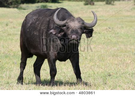 Large African buffalo in an irritated mood poster