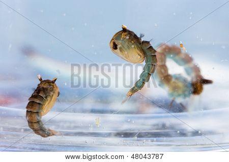 Mosquito Pupae And Larva
