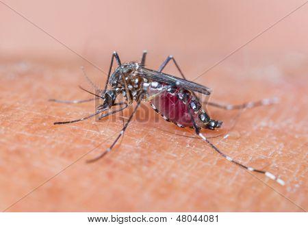 Mosquito Sucking Blood_set A-3