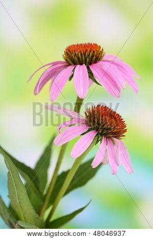 Echinacea flowers, outdoors