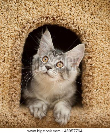 Kitten Peeking Out Of The House