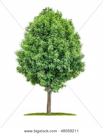 isolated rowan tree on a white background