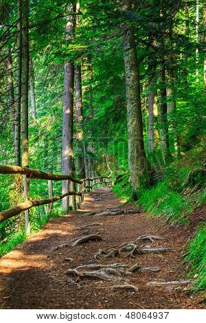 Narrow Mountain Path In A Coniferous Forest With Small Wooden Fence And Sprouted Roots