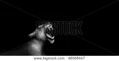 Lion Roarng