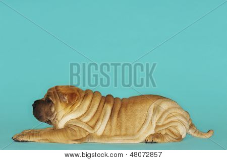 Side view of Sharpei sitting against turquoise background
