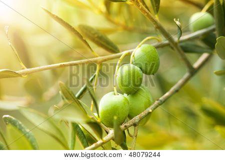 Ripe Green Olives
