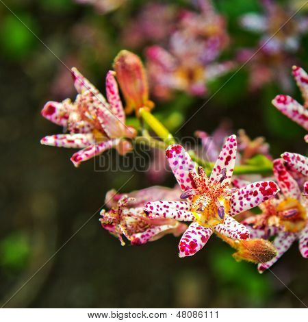 Toad lily flower close up
