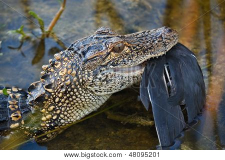 Alligator Eating Bird