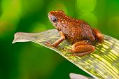 Tropical poison dart frog Ecuador Amazon Rainforest Exotic amphibian from the deep rain forest a small poisonous animal with bright red orange colours poster