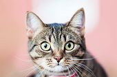Feline animal pet little british domestic cat curious face with yellow looking eyes poster