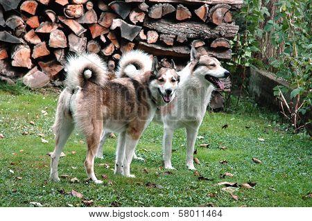 Bitch and Dog West Siberian Laika