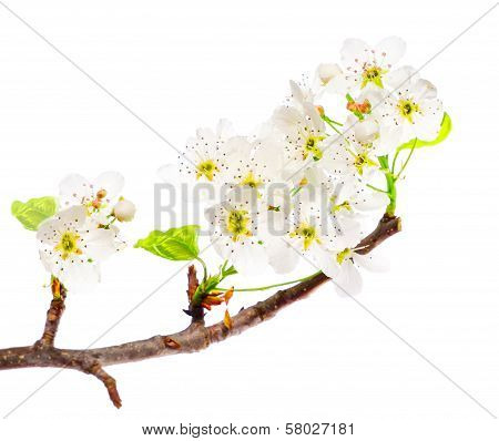 White Flowers on a Branch Isolated on a White Background