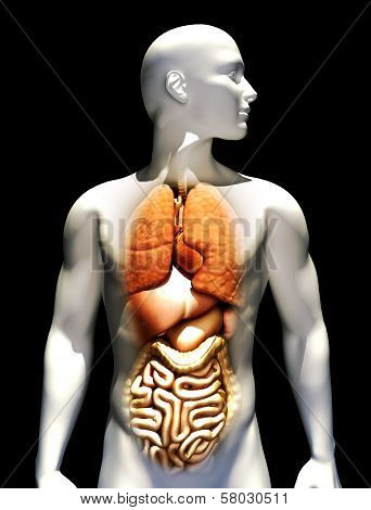Human male illustration with emphasis on the lungs