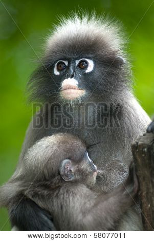 Monkey Mother And Her son ( Presbytis Obscura Reid ) on tree. poster