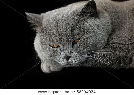 Sleepy Grey British Cat