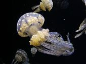 closeup of a large, translucent jellyfish with big white spots. poster