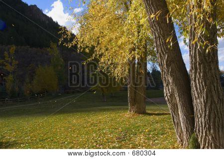 Aspen Leaves Blowing