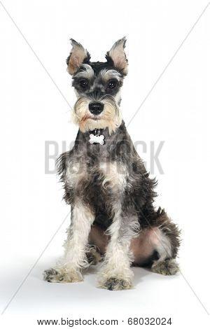 Miniature Schnauzer Puppy Dog on White Background