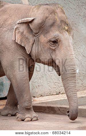 Asiatic Elephant (elephas Maximus) Walking
