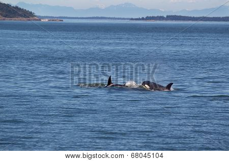 Orca Whales Chasing Each Other