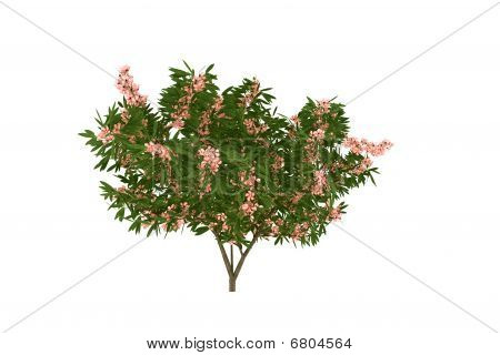 Blooming oleander tree