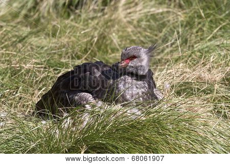 Southern Screamer That Sits Near The Nest On A Green Glade