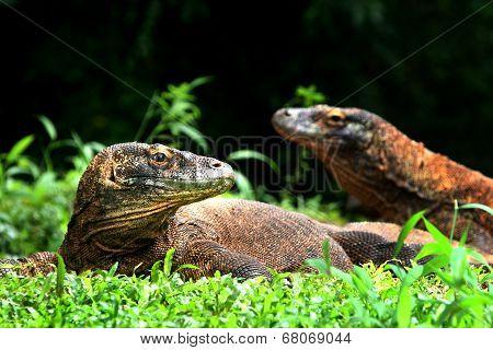 Komodo Dragon, Big Lizard